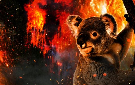 How the devastating bushfires in Australia are affecting koalas