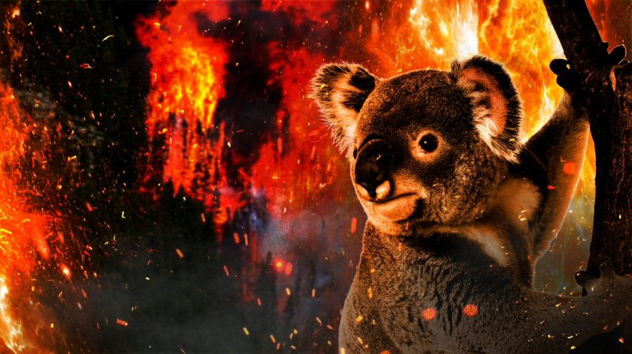 How+the+devastating+bushfires+in+Australia+are+affecting+koalas